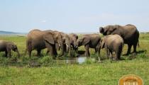 Elephants-in-the-Amboseli