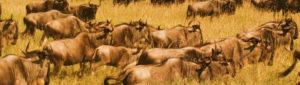 08 Days Migration Safari.