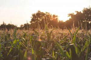 Kitale Corn Farm